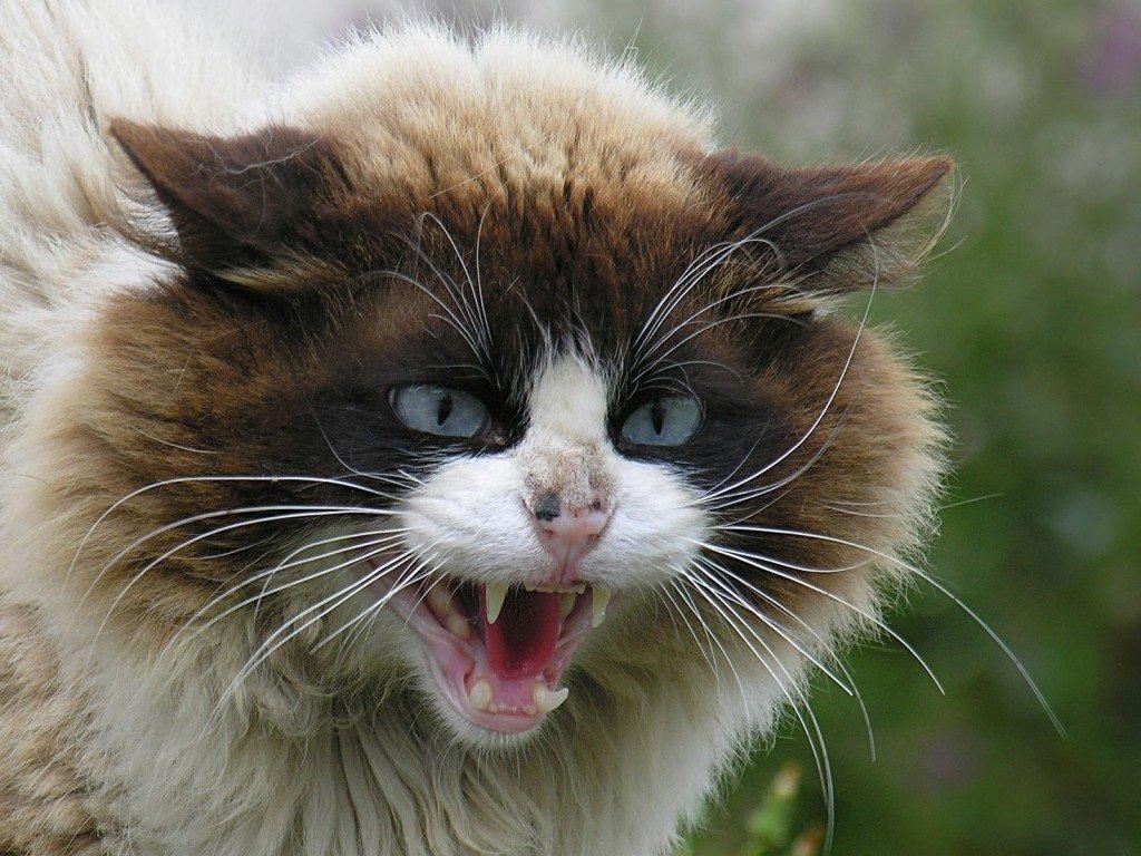Kediler Neden Saldırır?
