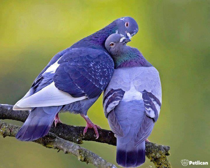 Güvercinin Cinsiyeti Nasıl Anlaşılır Petlicancom